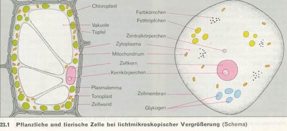 Arbeitsblatt Pflanzliche Tierische Zelle : Fotosynthese photosynthese